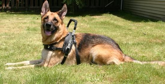 gsd-service-dog