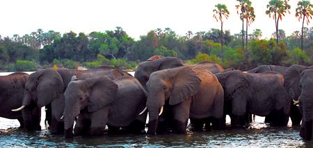 Přes den se sloni krmili na ostrovech, na noc se brodili a plavali zpět na pevninu.