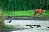 Heron, Ducks, and Deer - Lake Mills, Wisconsin