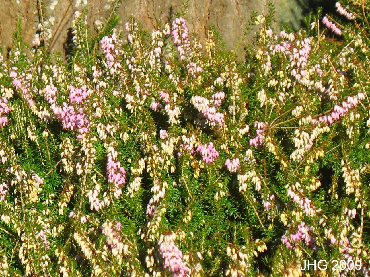 Flower and foliage fo Erica carnea Isobel