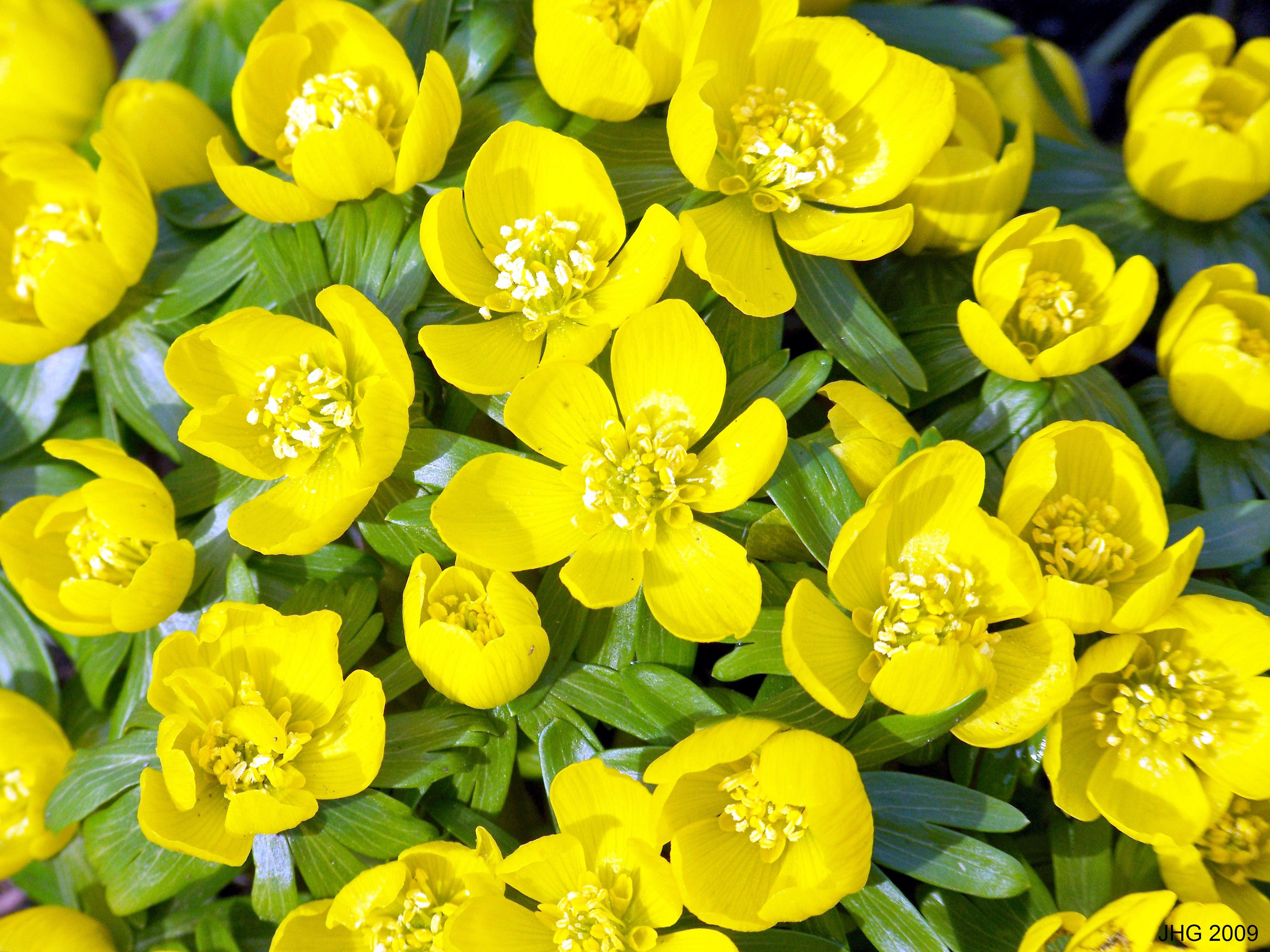 Winter Aconite blossoms in detail.