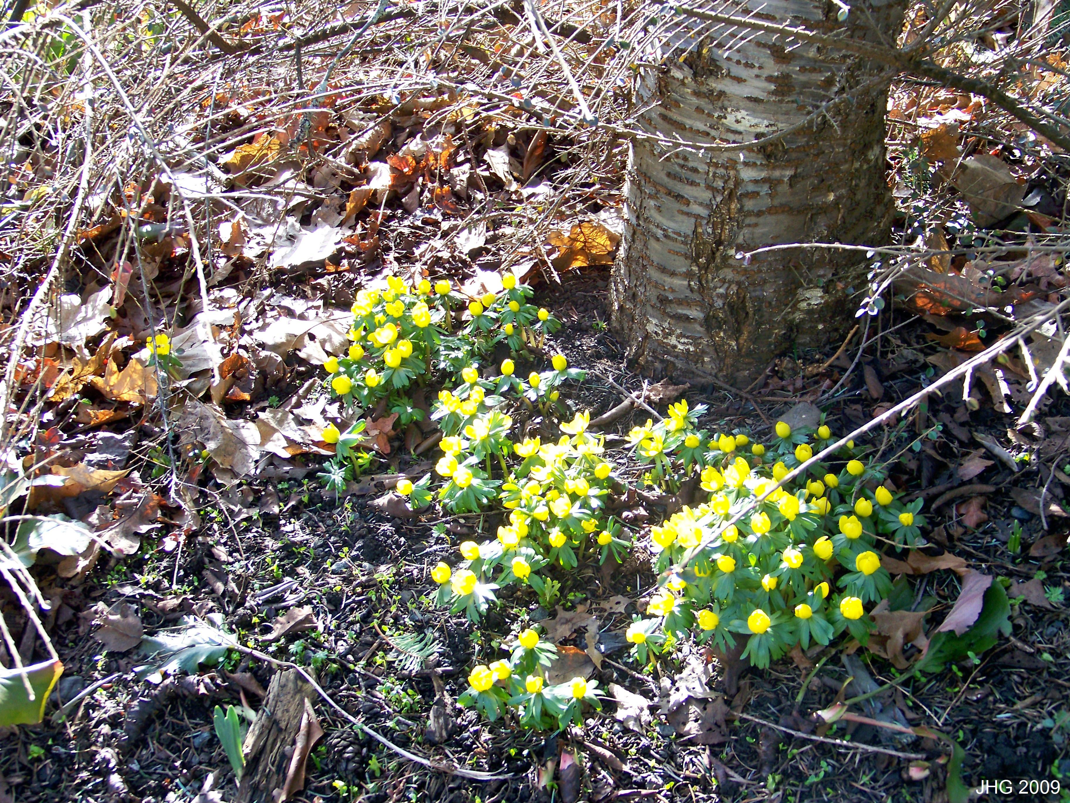 A group of Eranthis hymalis at Finnerty Gardens.
