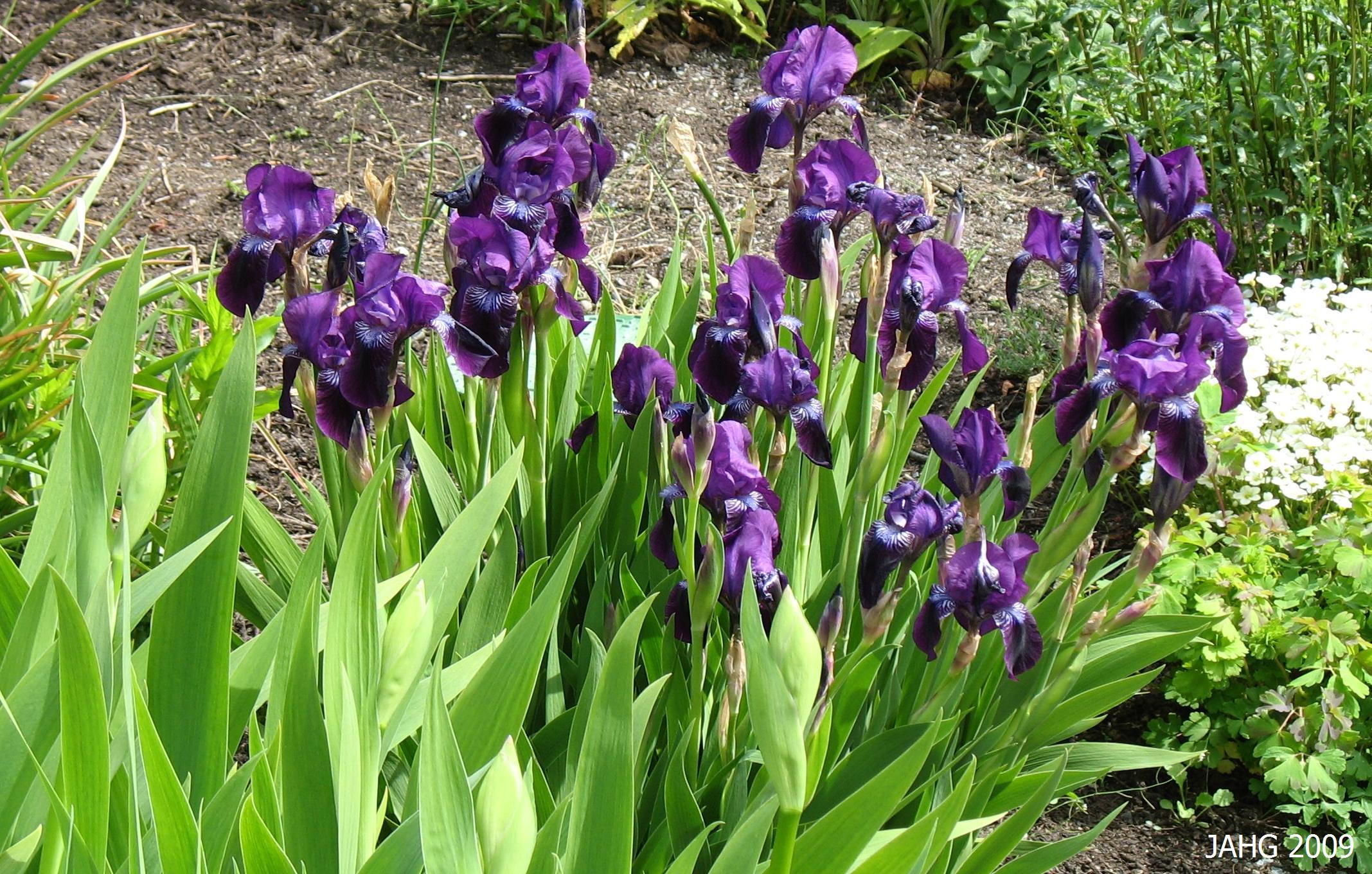 A Very Dark Purple Dwarf Variety of Common Bearded Iris.