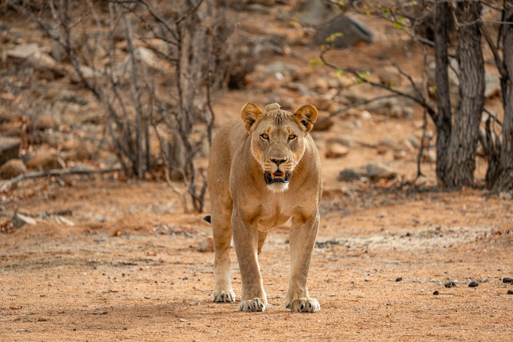 lioness protecting her cubs in the hobatere concession northern namibia