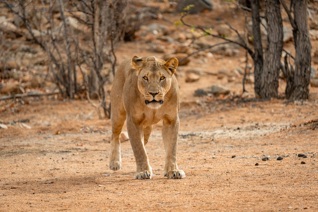 lioness protecting her cubs in hobatere concession