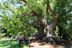 The ancient camphor trees - declared a National Monument