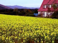 秋のひまわりは肥料として植えられている。壮瞥町にて。