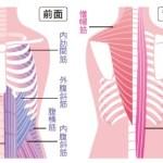 呼吸の筋活動について