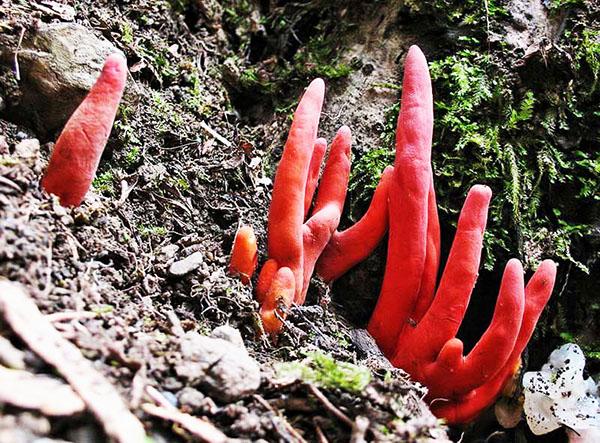 Nấm Bàn Tay là 1 trong 10 loại nấm độc nhất thế giới