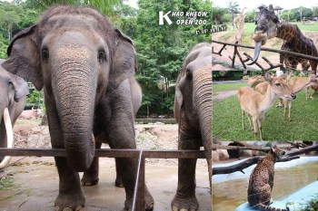 泰國芭達雅》綠山野生動物園Khao Kheow Open Zoo。芭達雅最大野生動物園,大象,長頸鹿,老虎動物秀