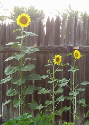 Daddy's sunflowers
