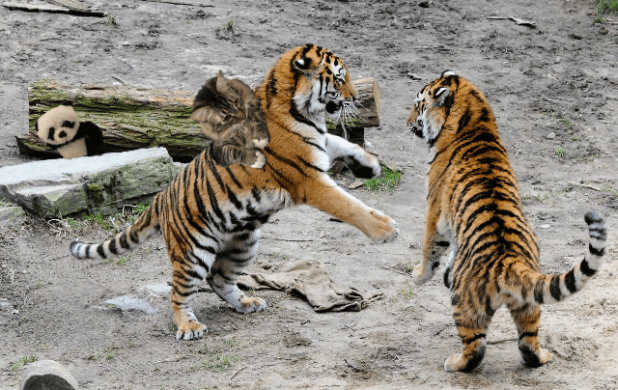 playing with tigers2