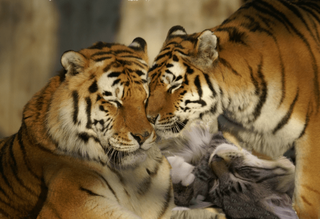 snuggling with tigers