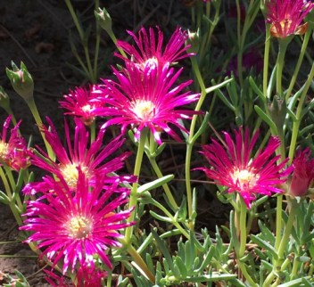 ice plant pruple
