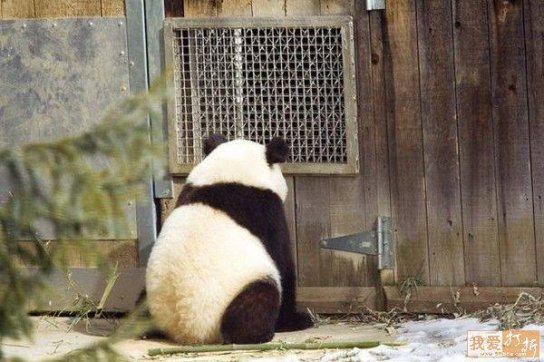 panda against wall