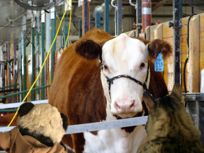 a talking to cow