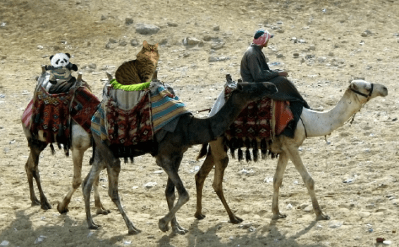 a separate camels