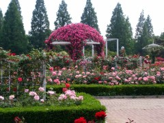 Enchanting rose garden in Ilsan, South Korea.