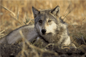 A gray wolf. Photo credit:Jake and Karen Hollingsworth / U.S. Fish and Wildlife Service