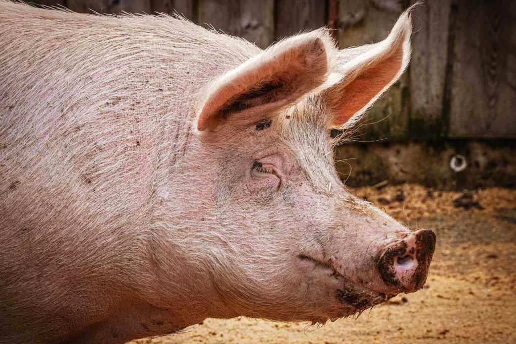 unsexy-pig