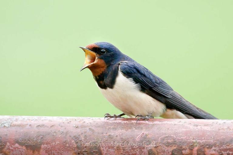 vogels, ekster, bonte specht, pestvogel, zwaluw
