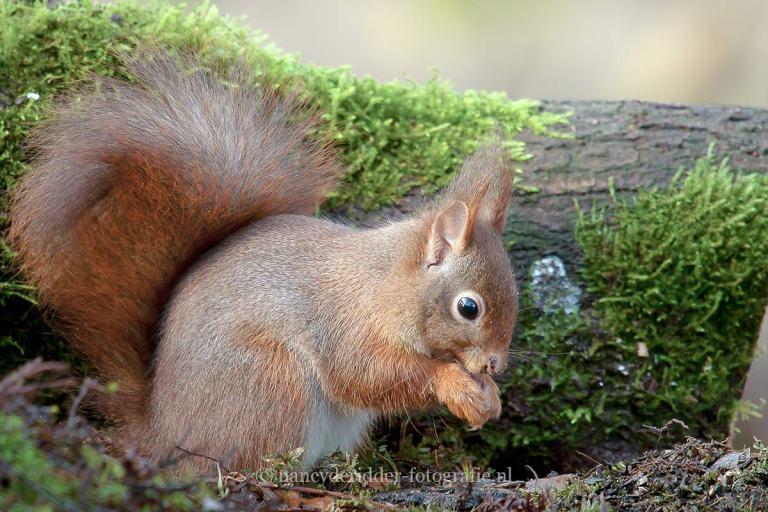 eekhoorns, vrije-natuur, beukennootje