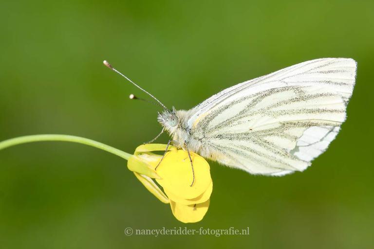 vlinders, geaderd-witje, macrofotografie