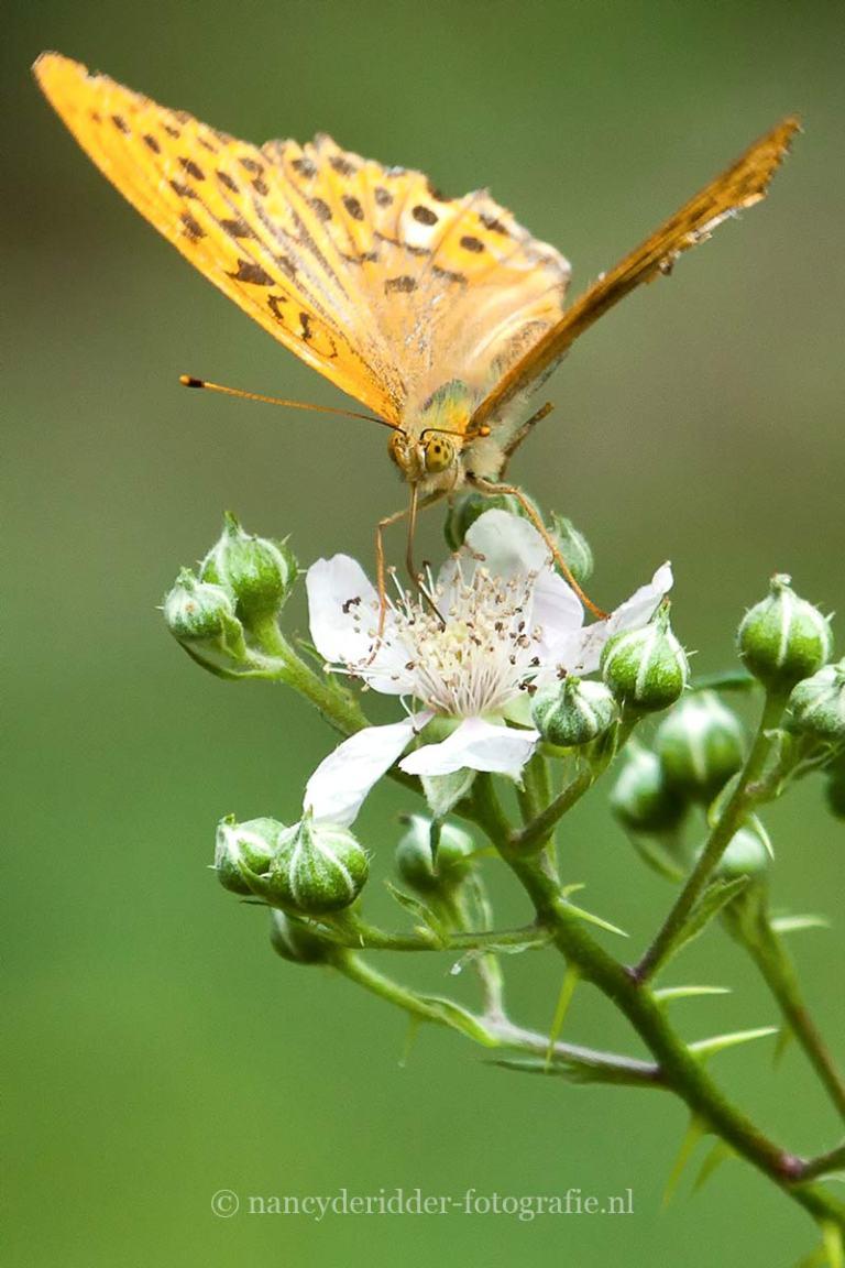 vlinders, keizersmantel, macrofotografie