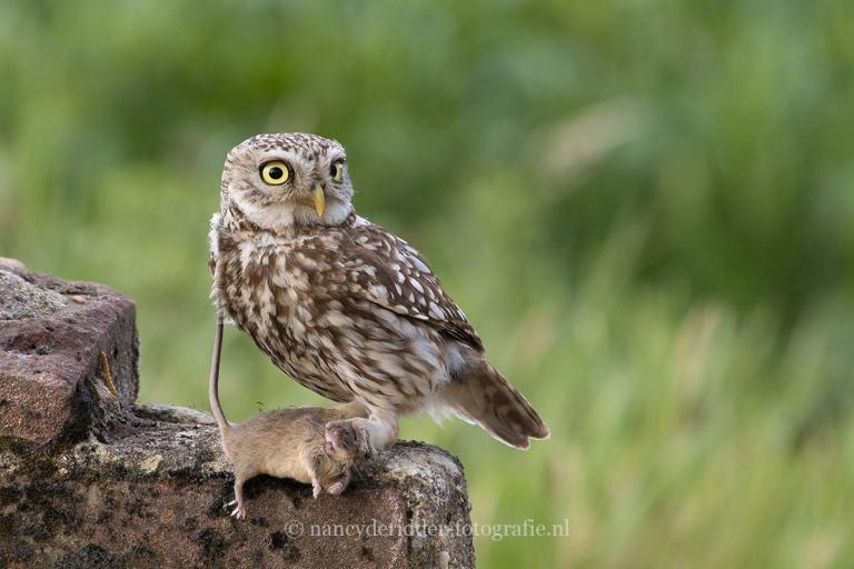 uilen, roofvogels, dieren, vrije-natuur, dierenfotografie