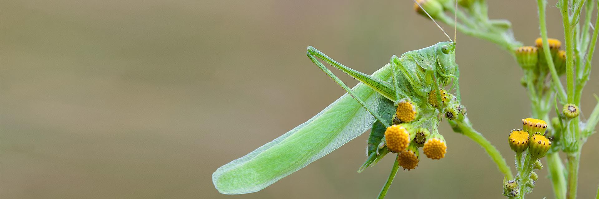 Welkom op de pagina van de Overige Insecten