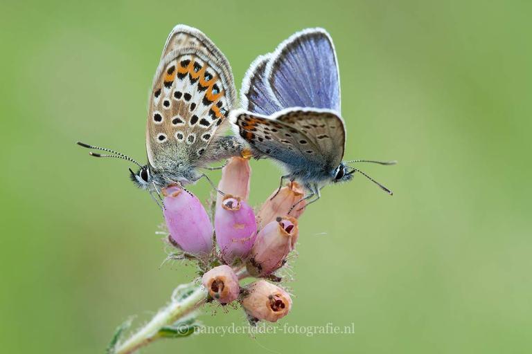 vlinders, heideblauwtjes, macrofotografie