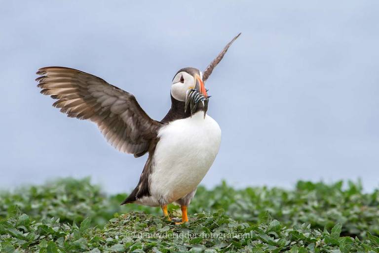 puffins, papegaaiduikers