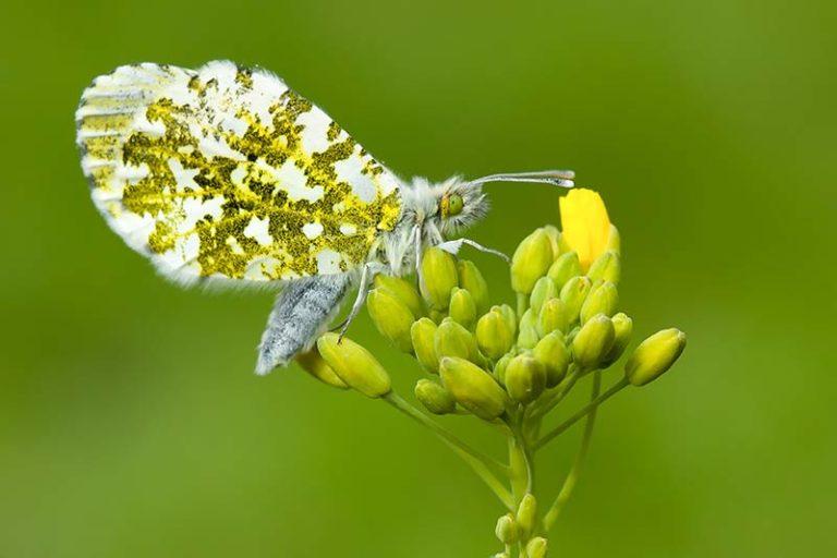 klik hier om meer foto's van rupsen en vlinders te bekijken