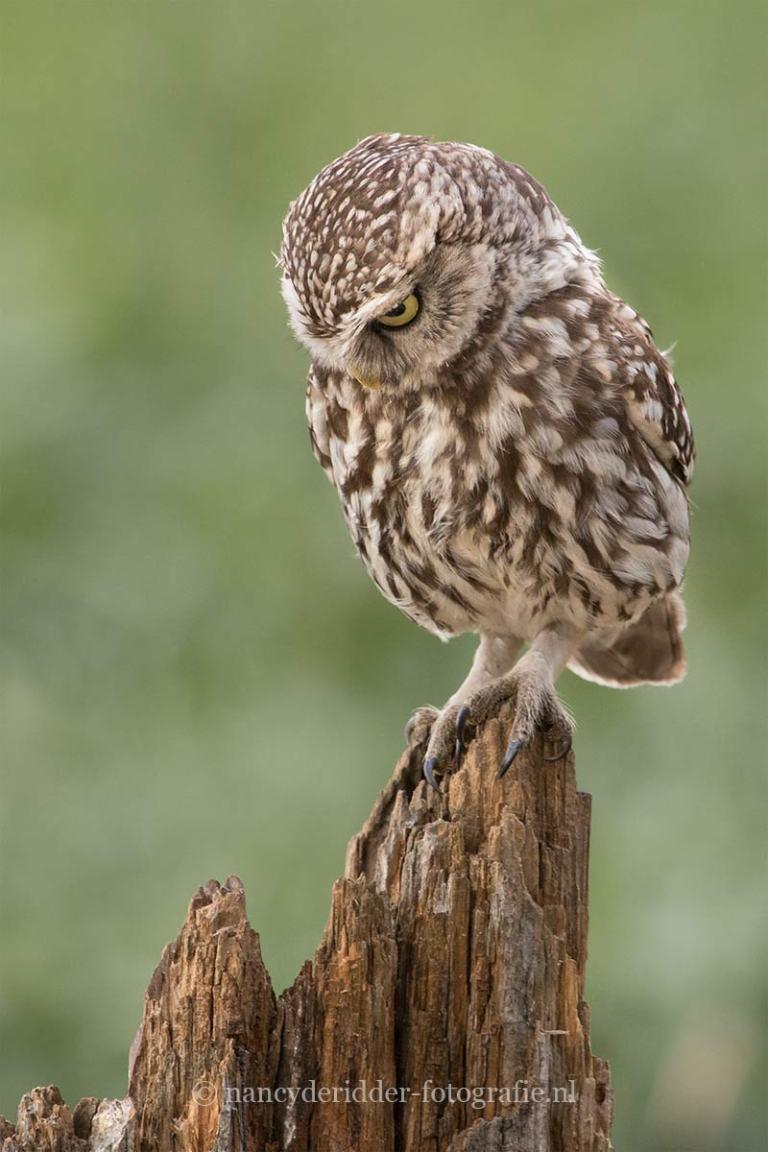 - uilen -
