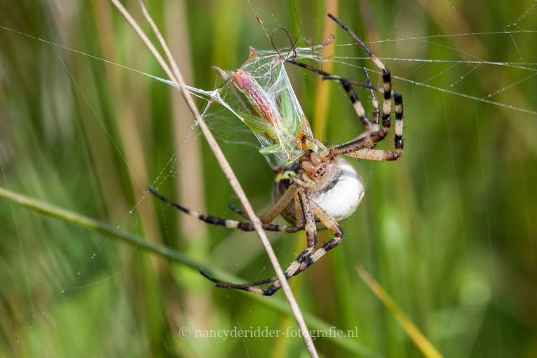 sabelsprinkhaan, wespenspin, macrofotografie, insecten, tijgerspin