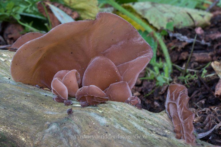 paddenstoelen, natuurfotografie, natuur, judasoor