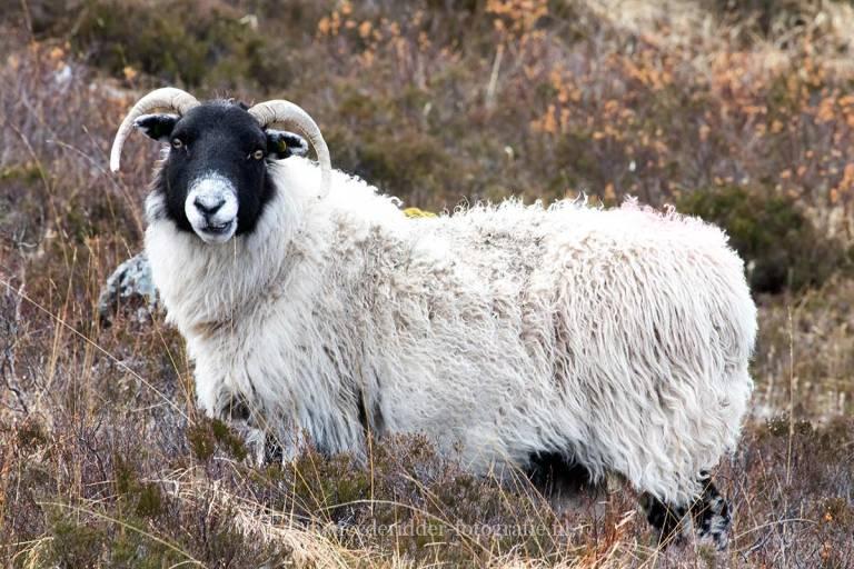 schotland, reizen, vakantie, landschappen, schapen