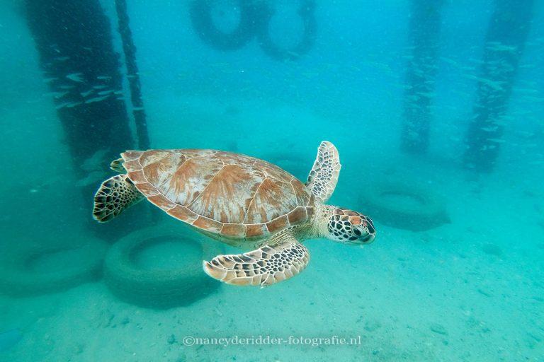 reizen, curacao, zeeschildpadden, schildpadden, playa-grandi