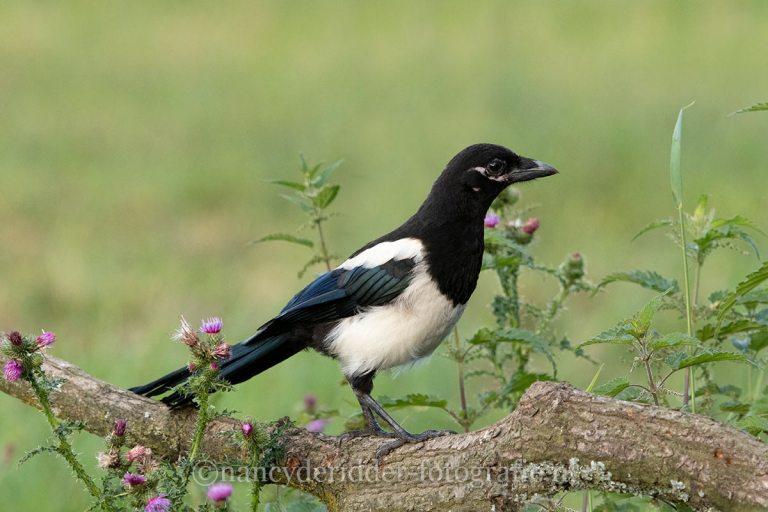 ekster, overige-vogels, vrije-natuur