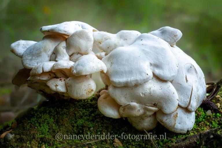 paddenstoelen, natuurfotografie, natuur, ridderzwammen