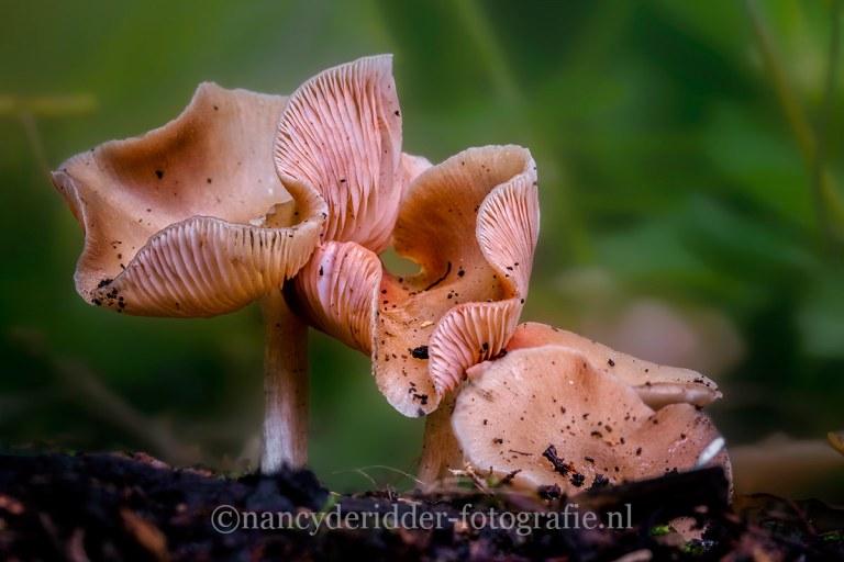 paddenstoelen, natuurfotografie, natuur, zalmzwammen