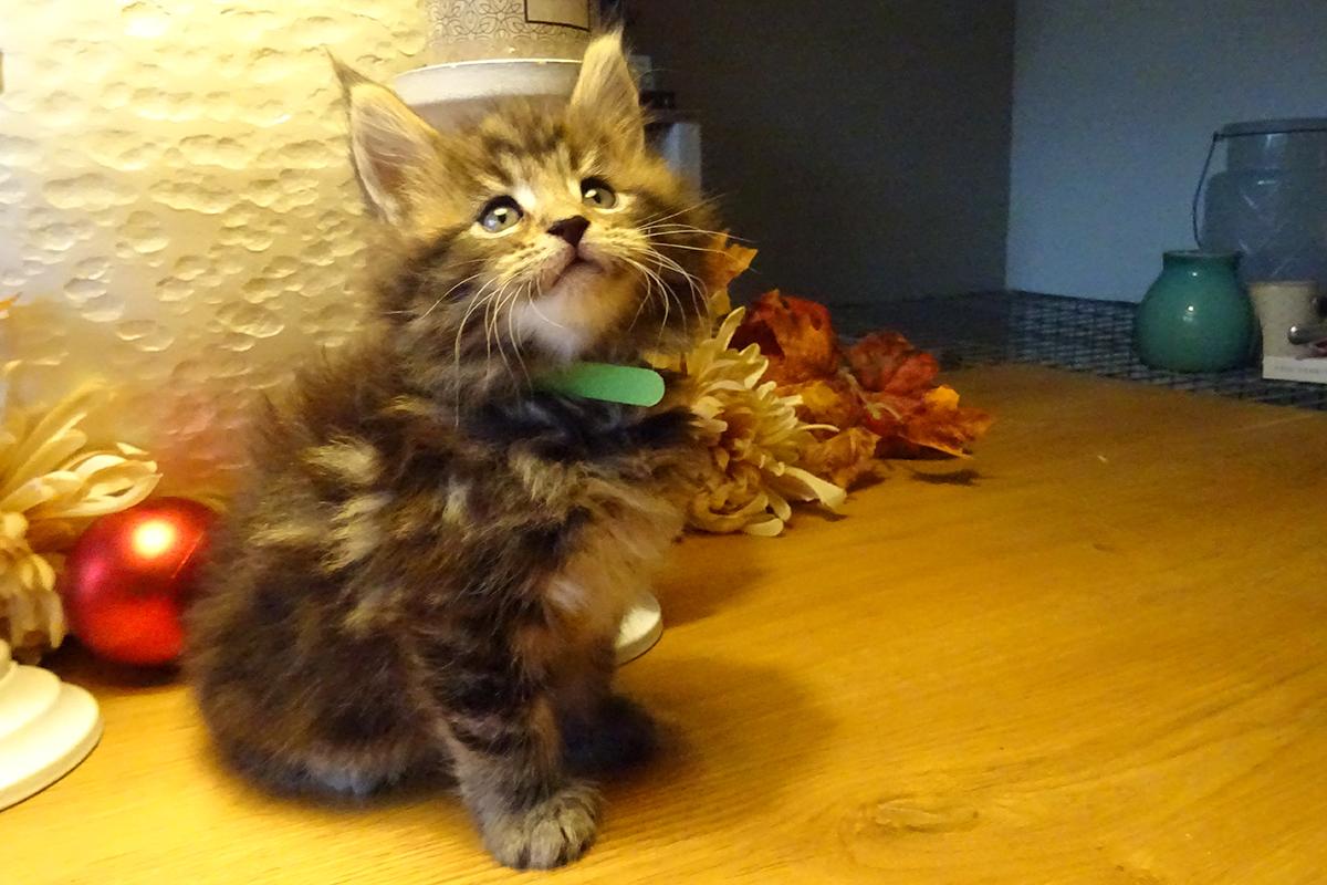 cooper, maine-coon, kitten