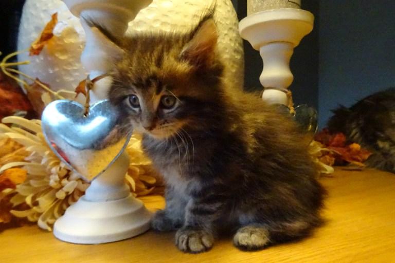 kitten, maine-coon.spencer
