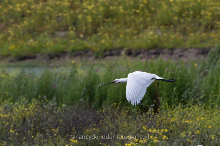 lepelaar, vogel, nederland, maasvlakte