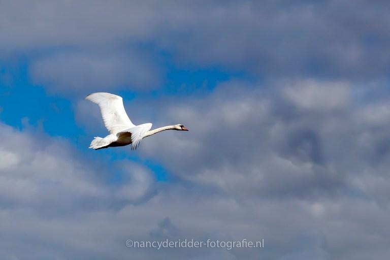 wilde-zwaan, KLM, vrije-vogel