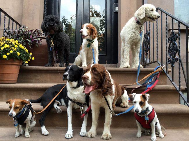 I am a Bklyn dog walker