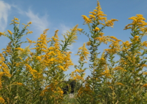 ブタクサ花粉の時期とアワダチソウとの違いを画像で紹介!