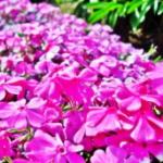 東海地方の芝桜の名所!愛知 岐阜 三重でGWに見頃なところ