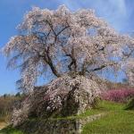 又兵衛桜のアクセスと駐車場情報!開花情報と見頃はいつ頃?