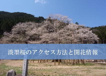 usuzumizakura01